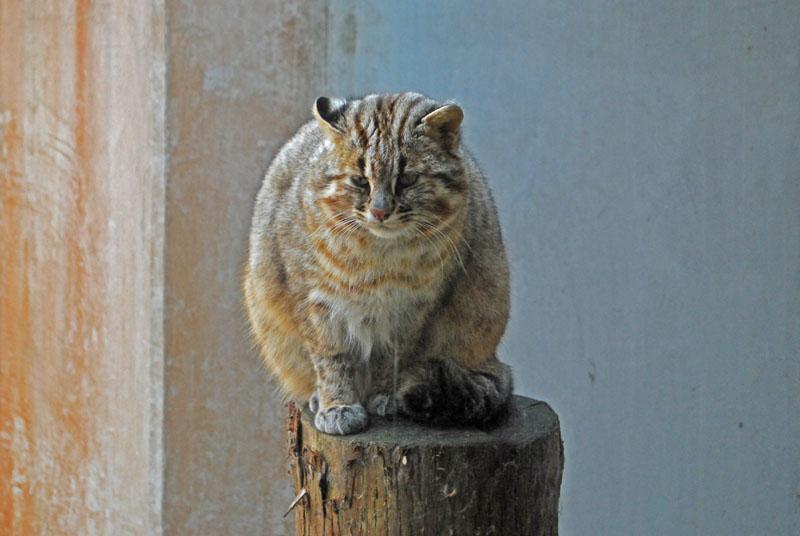 ツシマヤマネコの画像 p1_27