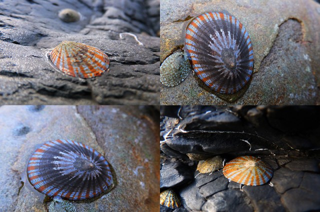 磯のかた貝